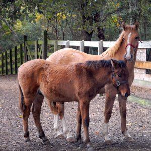Marsh Tacky Horses at Brookgreen Gardens